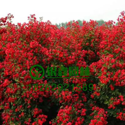 100万株美国三红紫薇小苗批发,耐寒花期长 红叶红火球红火箭价格,园林绿化道路绿化风景树