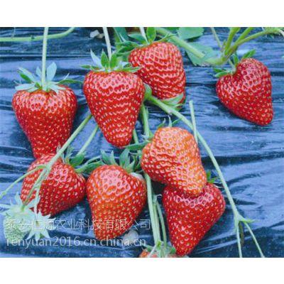 红颜草莓苗管理_丽水红颜草莓苗_仁源农业科技