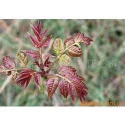 供应寿光蔬菜种子—红油香椿种子
