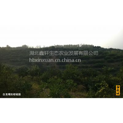 湖北鑫轩农业有万吨柑橘蜜桔,欢迎大老板商谈