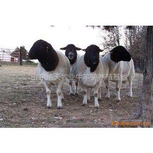 供应山东努比亚黑山羊养殖场,种公羊多少钱一只
