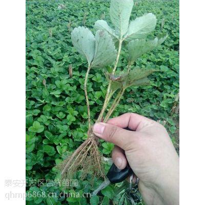 湖北低价脱毒草莓苗,湖南草莓苗2015年格,天津草莓苗批发中心价格