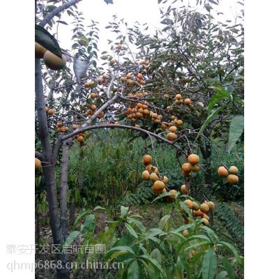 柿子苗,山东柿子苗供应,柿子苗价格,柿子苗批发价格