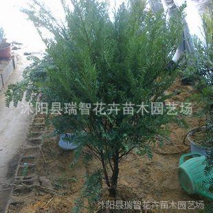 庭院花卉 国家一类保护植物 红豆杉树盆栽 净化空气 南方红豆杉苗