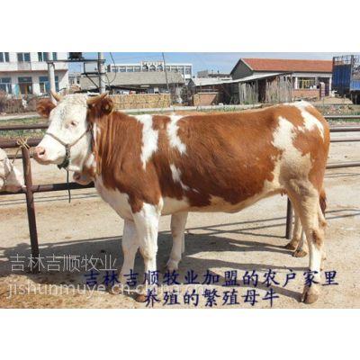 吉林吉顺牧业常年面向全国供应、西门塔尔牛、架子牛、货源多询15774404666
