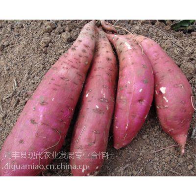 郑州红薯苗徐薯32濮阳现代农业