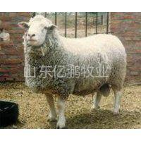 供应杜波绵羊养殖基地 亿鹏牧业