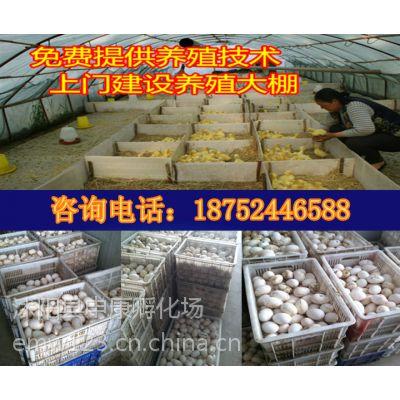 供应养鹅,鹅苗,鹅苗价格,鹅苗批发,鹅苗行情,皖西白鹅,狮头鹅,四季鹅,