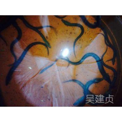 花鳗种苗 鳗鱼苗 花鳗养殖 黑仔苗 成品鳗鱼 水产品 养殖业