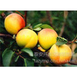 供应哪里有卖杏树苗的,哪里有杏树苗到泰安泽雨苗圃,优质杏树苗基地