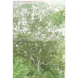 供应山东白皮松形态优美、古朴,而且四季常绿