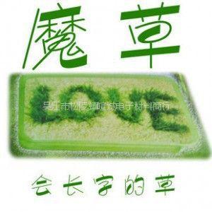 供应JQ126 魔草/小植物盆景/迷你小花小草/会长字的草