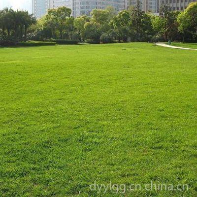 石家庄厂家批发抗旱耐盐碱护坡高羊毛草坪绿化草籽
