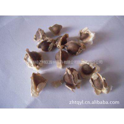 供应可药用食用辣木种子