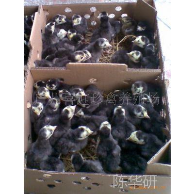 佛山养殖场直销——(珍禽动物养殖种苗)贝蒂娜火鸡 鸡苗