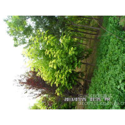 供应优质金叶复叶槭大型培育基地