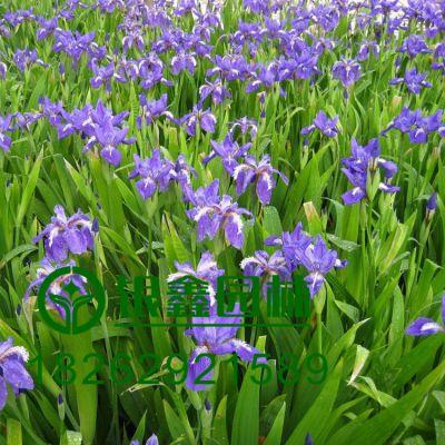 批发优质鸢尾种子 地被草花类花卉水生观花植物 易成活价格低,适用园林绿化工程 花圃苗圃