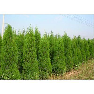 塔柏苗木供应陕西塔柏园林绿化桧柏陕西塔柏一米左右