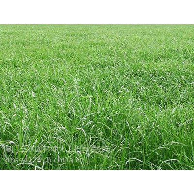 四川三水园林供应成都青羊区耐践踏草种台湾青种子批发