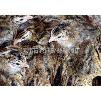 供应河北孔雀养殖河北山鸡养殖出售山鸡苗 孔雀苗 珍珠鸡苗 火鸡苗 贵妃鸡苗