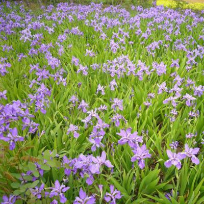 常年供应兰花鸢尾 鸢尾苗 自产自销 基地种植 量大优惠 水生花卉 品种齐全