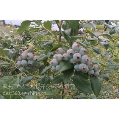 遵义蓝莓苗_百色农业_蓝莓苗种殖