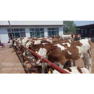 吉林黄牛价格吉林黄牛犊价格吉林黄牛养殖基地吉林黄牛犊养殖场