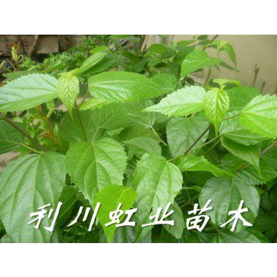 豆腐树苗/豆腐树苗的神奇树叶可以做出美味佳肴神豆腐