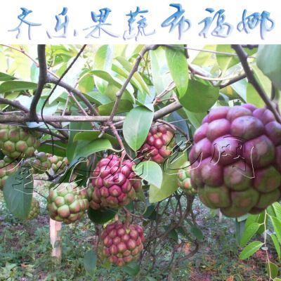 江西野果特色种植 黑老虎批发