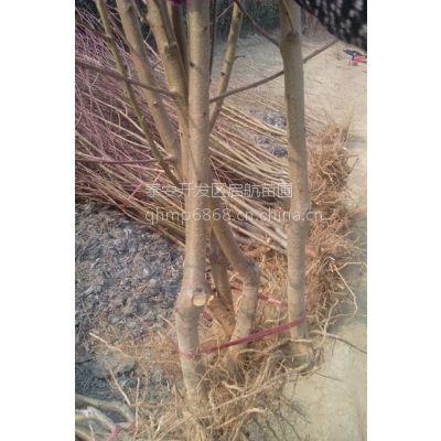 2公分桃树价格,山东2公分桃树成苗批发价