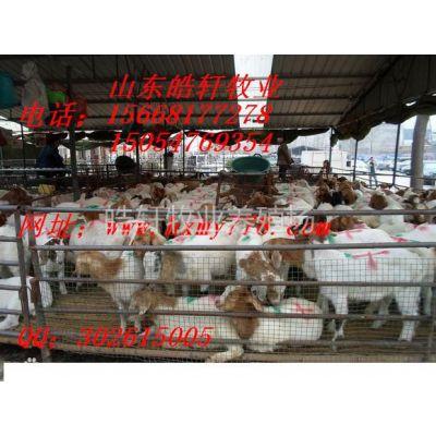 供应波尔山羊***适合在哪里养殖杜泊羊羊羔价格