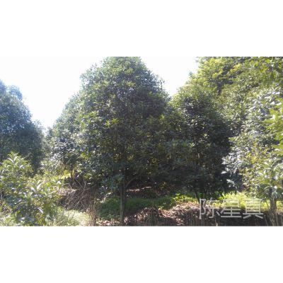 浙江农户直接供应自家种的绿化苗木 八月桂红花金桂冠幅1.5米-8米