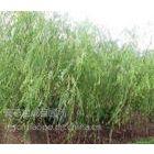 供应8公分柳树价格,柳树枝条垂下的