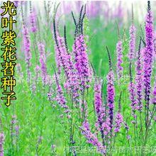批发光叶紫花苕子种子毛苕子 箭舌豌豆绿肥种子饲料作物营养丰富