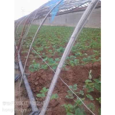 通州章姬草莓苗,红丰园艺场,章姬草莓苗栽培