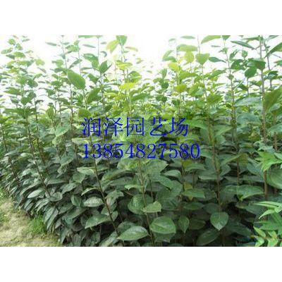 供应低价供应优质柿子树苗,柿子树品种