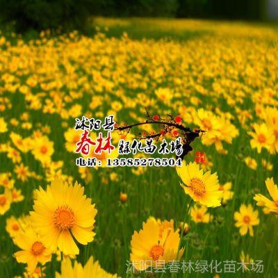 供应批发金鸡菊种子 盆栽植物 绿化种子 园艺草坪花种 景观种子