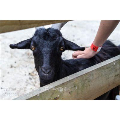 努比亚黑山羊优质品种介绍