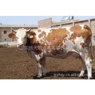 供应湖南大型肉牛养殖基地养牛的利润怎么样