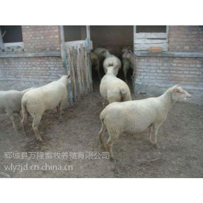 肉羊_万隆畜牧养殖(图)_怎样养肉羊