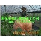 供应寿光蔬菜种子—巨型南瓜种子