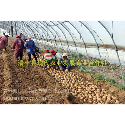 濮阳红薯苗紫薯苗 河南濮阳清丰现代农业