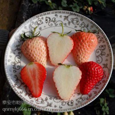银川白草莓苗基地,白草莓苗基地,乾纳瑞农业科技