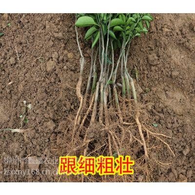 宜州沃柑苗网【宜州哪里有果苗卖】宜州沃柑苗