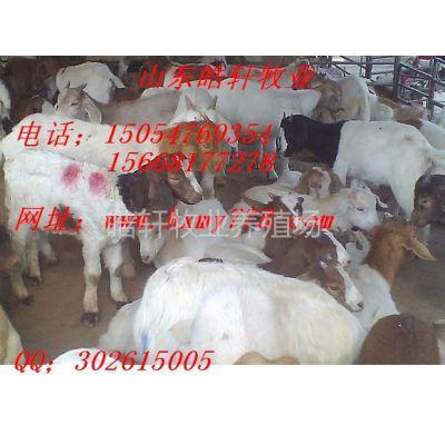 供应波尔山羊养殖场波尔山羊孕羊多少钱一只