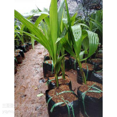 泰国金椰苗,香水椰子苗,金椰苗