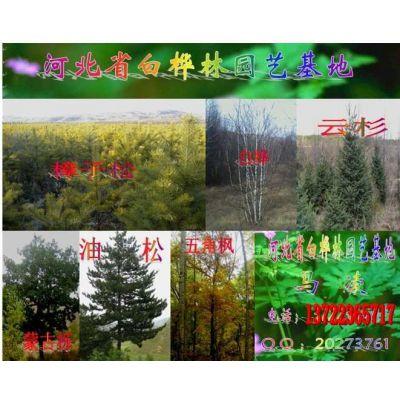 供应白桦树,丛生白桦树,白桦树图片,油松,云杉,花楸,丛生花楸,暴马丁香,丛生暴马丁香,山丁子