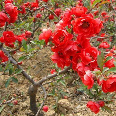 常年供应日本海棠 垂丝海棠 自产自销 基地种植 量大优惠 庭院园林绿化