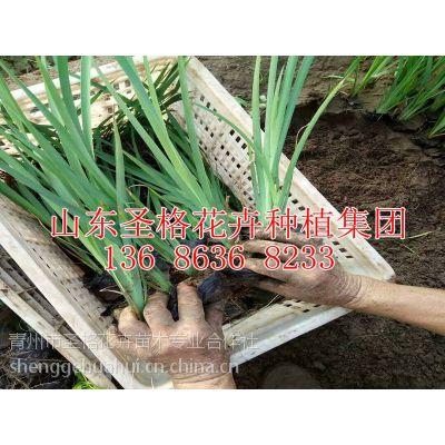多年生草本黄菖蒲种植批发基地