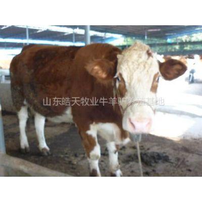 供应供应山东什么品种肉牛育肥快夏洛莱牛犊怎么卖的